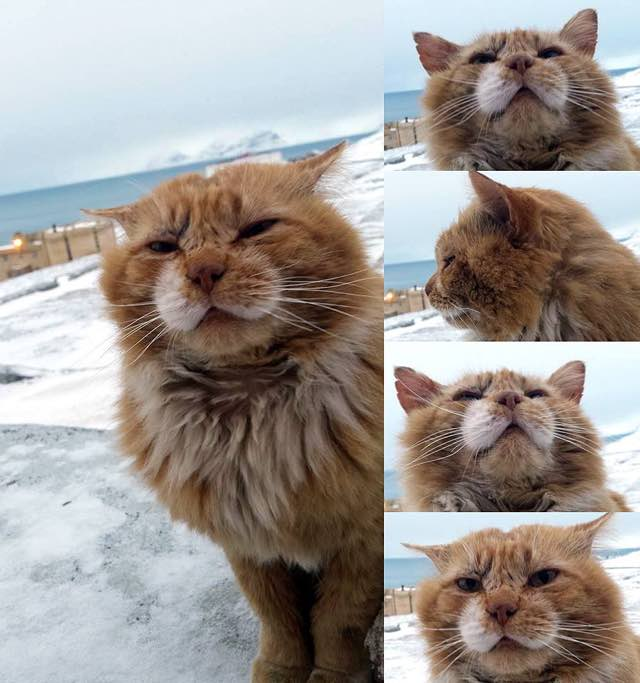 1_Fluffy_Orange_Arctic_Cat