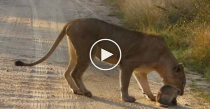 They Were Going Down The Road, When Suddenly A Lion Does Something Completely Heartwarming…