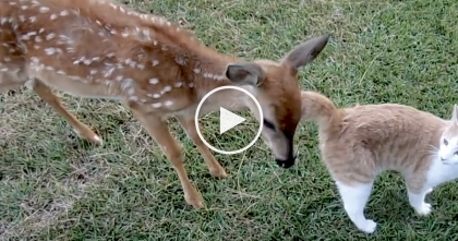 They Noticed A Deer Hanging Out With The Cat, But What They Recorded Next…