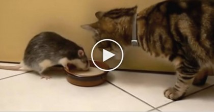 Thirsty Kitty Tries To Take A Sip, But When You See The Rat Too… LOL, Are You Serious?!