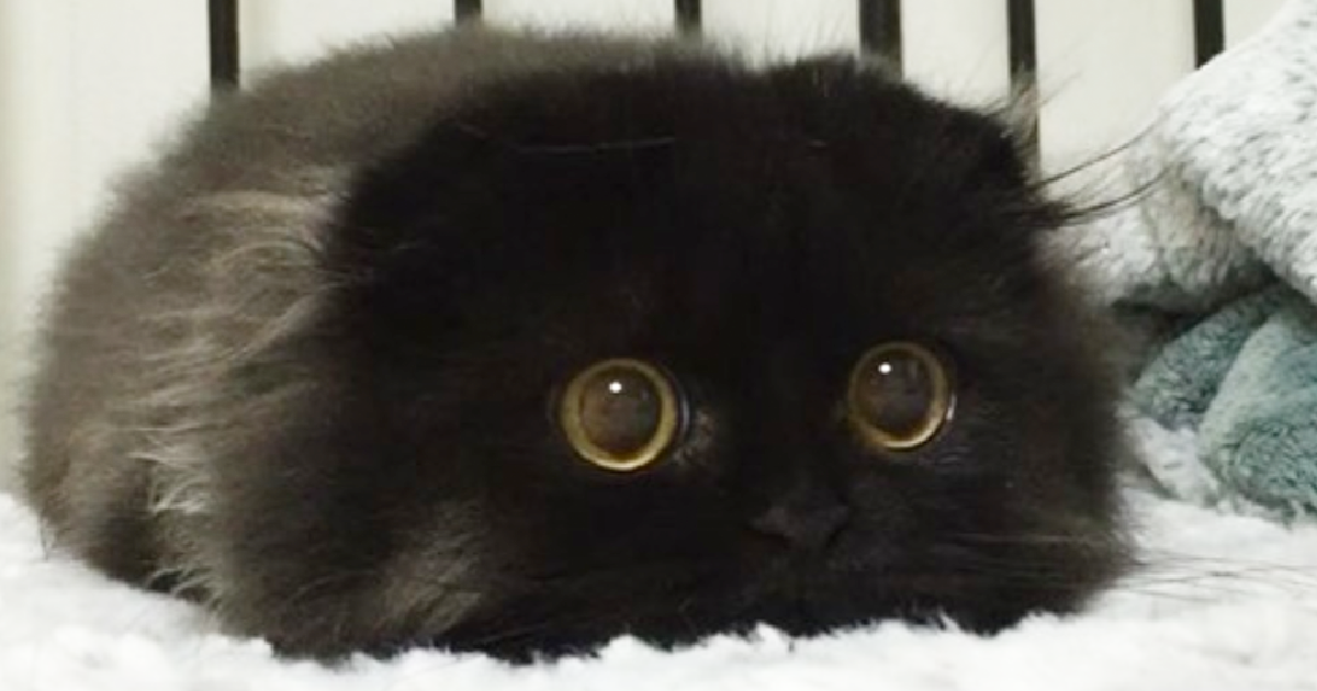 Say Hello To Gimo, The One-Of-A-Kind Cat Who Has Eyes So Huge, You Won't Forget.