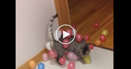 Cat Discovers Balloons And Can't Get Enough Of Them… Just Watch, LOL