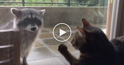 Cat Sees Raccoon Outside, But His Response Is Just Too Cute To Miss!