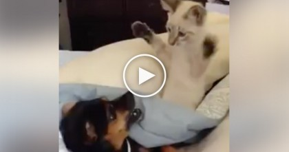 Dog Can't Get Any Sleep, But When You See What The Cat Is Doing? I Can't Stop Laughing!