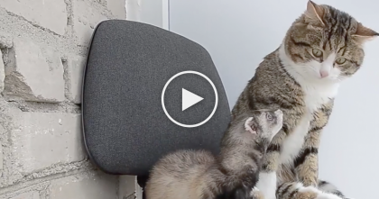 Ferret Refuses To Leave New Friend, When He Meets The Cat… Watch Their Reaction!