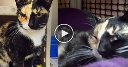Forgiving Calico Cat Responds In Most Beautiful Way After Being Rescued With BB In Her Eye