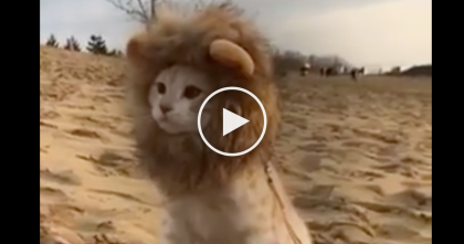 This Cat Explores Sand Dunes In Hilarious Lion Costume, Just Watch… LOL