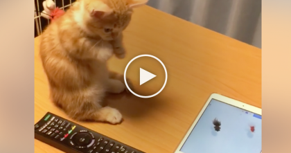 Kitten Thrilled And Beyond Overjoyed When He Discovers Fish Swimming On Screen