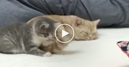 Older Cat Is Trying To Sleep, But Tiny Kitten Won't Stop Biting His Tail…This Is SOO Cute And Funny!