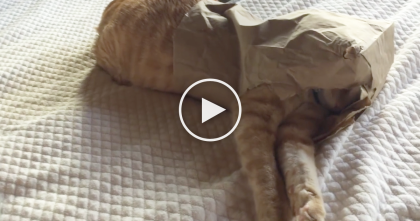 Owner Finds Her Adorable Fat Cat Stuffed Into The Tiniest Paper Bag, Watch, LOL