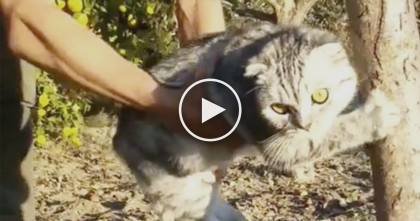 Watch Cat's Response When His Human Tries To Remove Him From The Tree… LOL