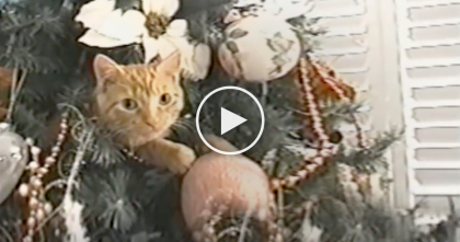 "Watch Hilarious Moment When Cat Refuses To Leave His Favorite ""Christmas-Tree-Bed"""