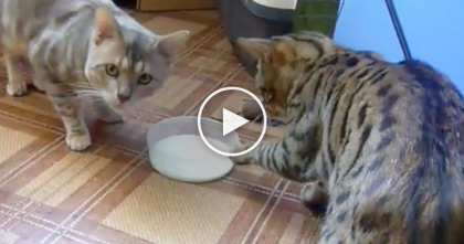 "Watch These Cat's Reactions When They ""Try"" To Share A Bowl… This Is Hilarious, Hahaha!"