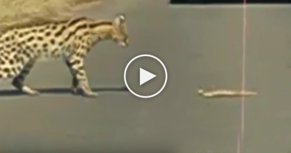 Wild Serval Cat Stops Traffic And Hunts Down Poisonous Snake In The Middle Of The Road… WATCH